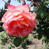 一朵桃红色玫瑰色花的头在叶子的 免版税库存照片
