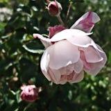 一朵桃红色玫瑰色花的头在叶子的 库存照片