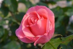 一朵桃红色玫瑰色花 库存图片