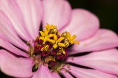 一朵桃红色百日菊属花的特写镜头在庭院里 库存图片
