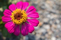 一朵桃红色百日菊属花 库存照片