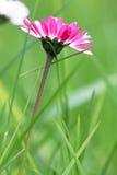 一朵桃红色色雏菊在春天 免版税库存照片