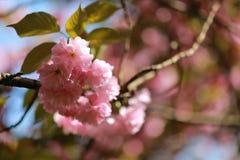 一朵桃红色花在夏天春天公园庭院里室外晴天 库存图片