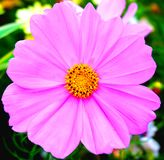 一朵桃红色花在春天 库存照片