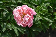 一朵桃红色花在花坛上 免版税库存照片