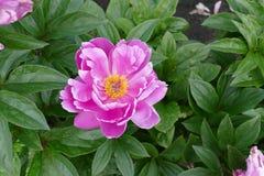 一朵桃红色花在花坛上 免版税库存图片