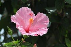 一朵桃红色花在阳光下 库存图片
