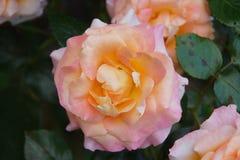 一朵桃红色花它是浪漫的 桃红色颜色的壮观的瓣 正面图 图库摄影