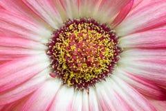 一朵桃红色花的中心的宏观细节 免版税图库摄影