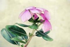 一朵桃红色花的水彩 库存照片