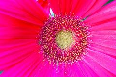 一朵桃红色花的细节与雌蕊和雄芯花蕊的 免版税库存照片
