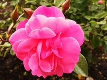 一朵桃红色花 库存图片