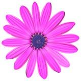 一朵桃红色花 图库摄影