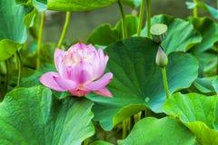 一朵桃红色莲花和叶子的特写镜头 库存照片