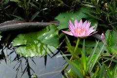 一朵桃红色莲花 库存照片
