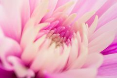 一朵桃红色菊花的宏指令 库存图片