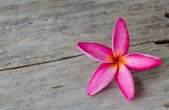 一朵桃红色赤素馨花或羽毛热带花 免版税库存照片