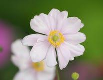 一朵桃红色银莲花属花的特写镜头 库存照片