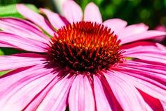 一朵桃红色锥体花的宏指令 库存图片