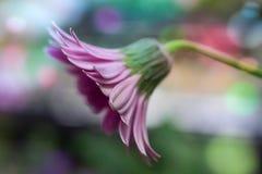 一朵桃红色雏菊的特写镜头 免版税图库摄影