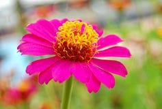 一朵桃红色雏菊花 库存图片