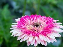 一朵桃红色雏菊 库存图片