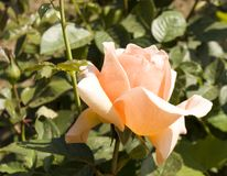 一朵桃红色颜色玫瑰 库存照片