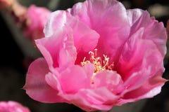 一朵桃红色仙人掌花的特写镜头 免版税库存图片