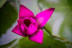一朵桃红色紫罗兰色莲花荷花花有被弄脏的背景 免版税库存照片