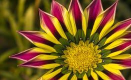 一朵桃红色黄绿色橙色颜色杂色菊属植物花的特写镜头 库存照片