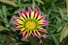 一朵桃红色黄绿色橙色颜色杂色菊属植物花的特写镜头 免版税图库摄影
