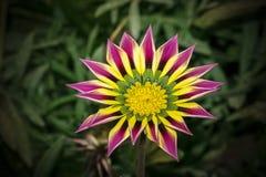 一朵桃红色黄绿色橙色颜色杂色菊属植物花的特写镜头 免版税库存照片