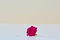 一朵桃红色kalanchoe花 库存照片