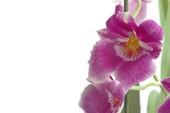 一朵桃红色miltoniopsis兰花的特写镜头 免版税库存照片