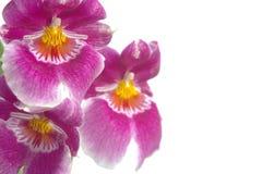 一朵桃红色miltoniopsis兰花的特写镜头 库存图片