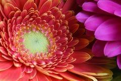 一朵桃色的大丁草花的特写镜头细节 库存照片