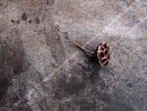一朵棕色莲花 库存图片
