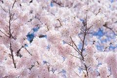 一朵樱花在日本在春天叫开花在它的分支的佐仓 免版税库存照片