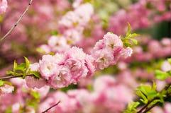一朵樱花的桃红色花 图库摄影