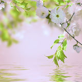 一朵樱花的桃红色花 库存图片