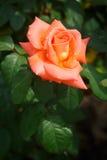 一朵橙色桃红色玫瑰的花在庭院里开了花 库存照片