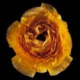 一朵橙色毛茛花 免版税库存图片
