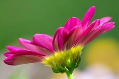 一朵洋红色雏菊的宏指令 图库摄影