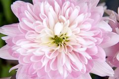 一朵浅粉红色的大丽花花的下来上面视图 免版税库存照片
