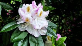 一朵浅粉红色的杜鹃花花在庭院里 库存图片