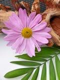 一朵浅紫色的菊花翠菊花 免版税库存图片