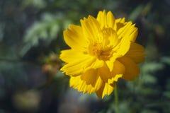 一朵淡黄色热带花早晨 免版税库存照片