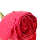 一朵湿红色玫瑰的背景 免版税图库摄影