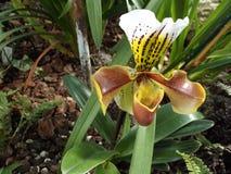 一朵热带兰花花 免版税库存照片