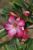 一朵热带桃红色花的特写镜头 库存照片